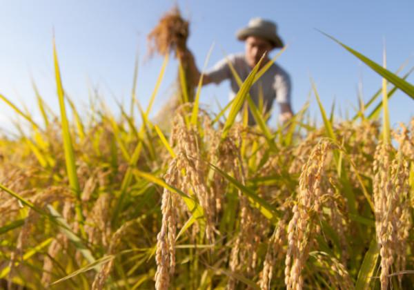 お米、美味しいお米、高評価のお米、米農家