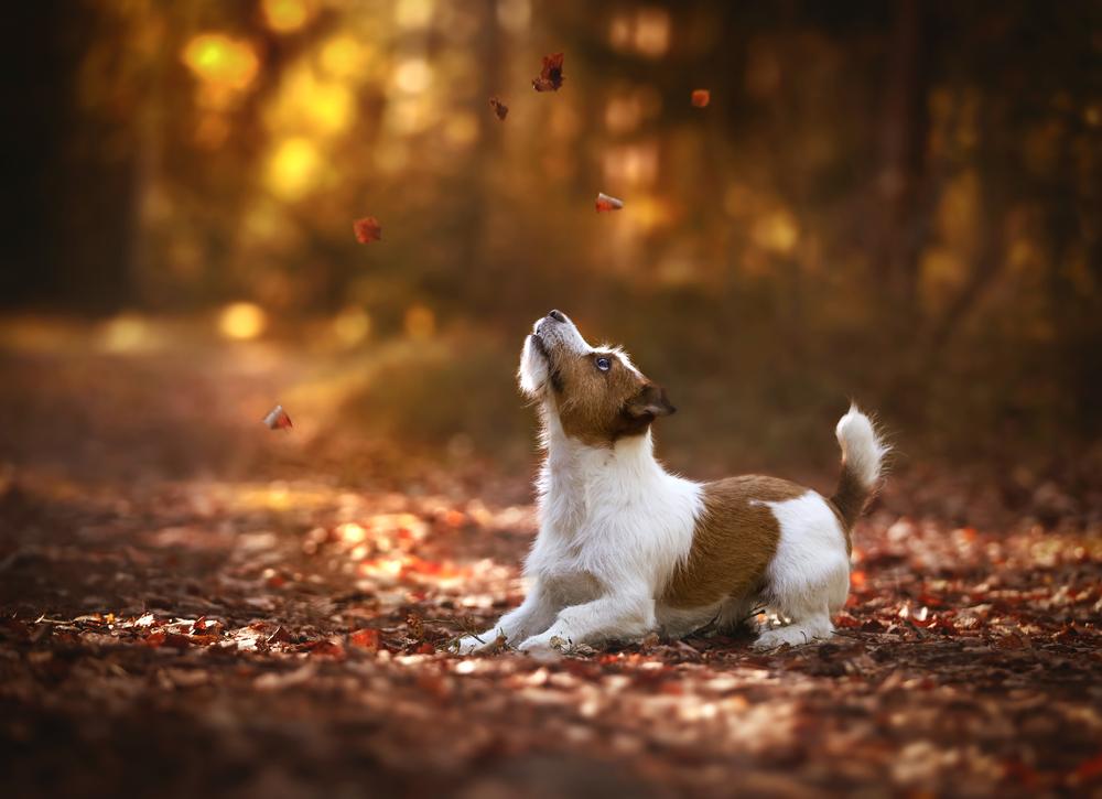 ジャックラッセルテリア、Jack Russell Terrier、犬、飼い犬、愛犬