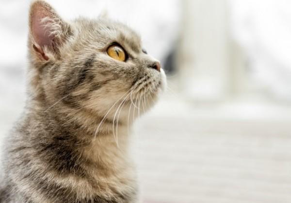 ネコ、猫、感染症、茶トラ