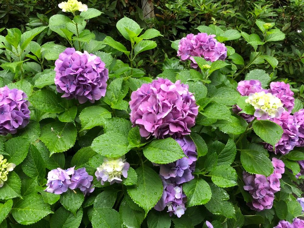 梅雨、梅雨入り、あじさい、紫陽花